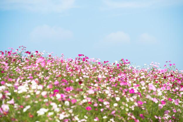 【昭和記念公園(花の丘)】青空にコスモス5