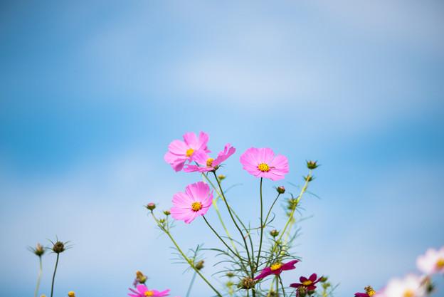【昭和記念公園(花の丘)】青空にコスモス7
