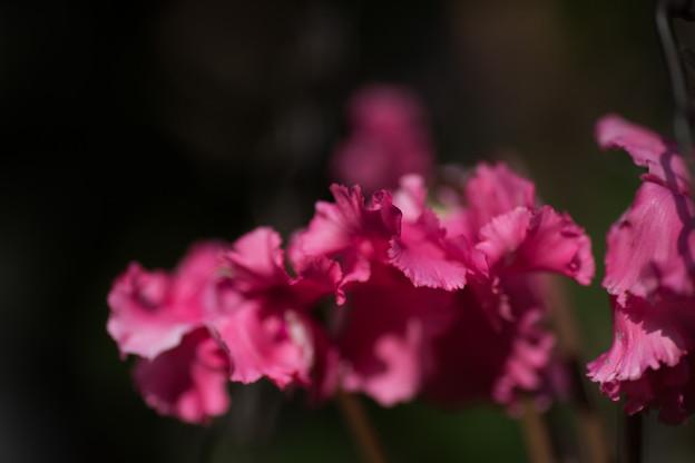 【庭の花:シクラメン】2
