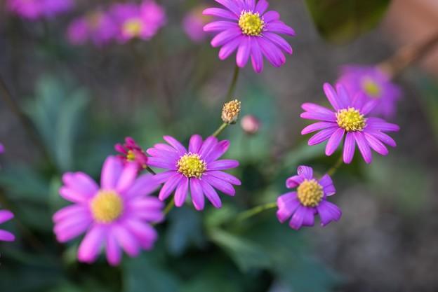 Photos: 【庭の花:ブラキカム・チェリッシュ】1