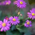 【庭の花:ブラキカム・チェリッシュ】1
