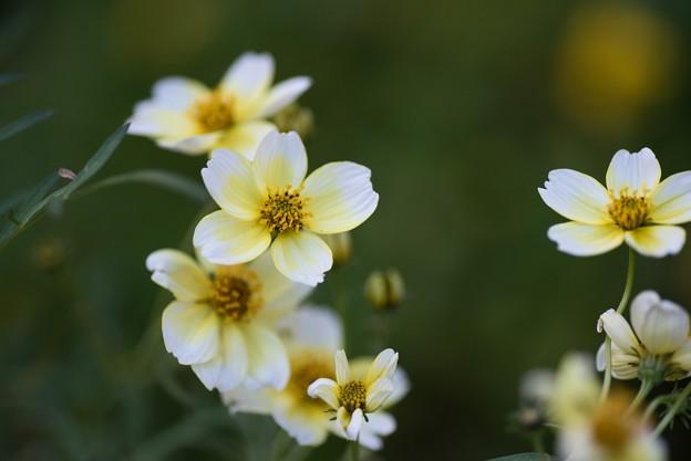【庭の花:ウインター・コスモス】1