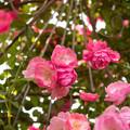 写真: 【神代植物公園(アンジェラ)】2