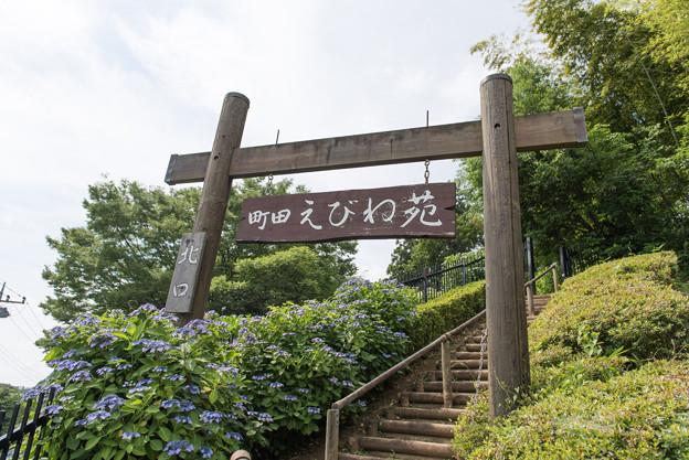 【薬師池公園(えびね苑で紫陽花が咲いています)】1