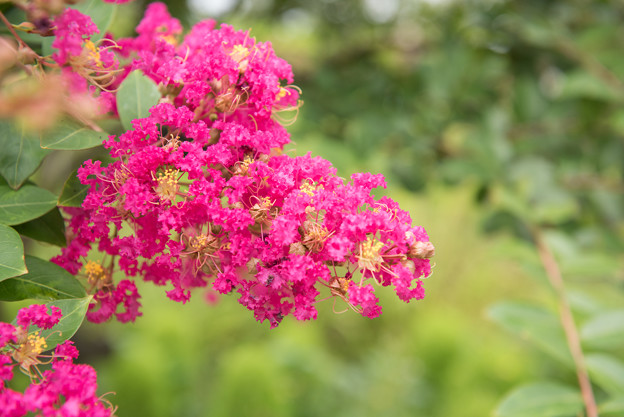 【花菜ガーデン(サルスベリ)】1