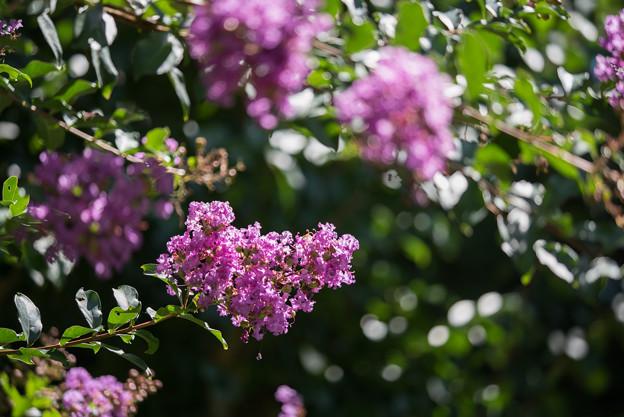 【大船植物園(紫色のサルスベリ)】3