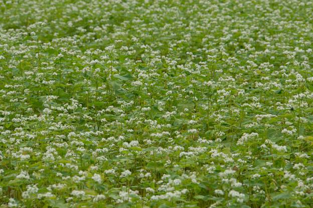 【山中湖花の都公園(蕎麦の花)】2