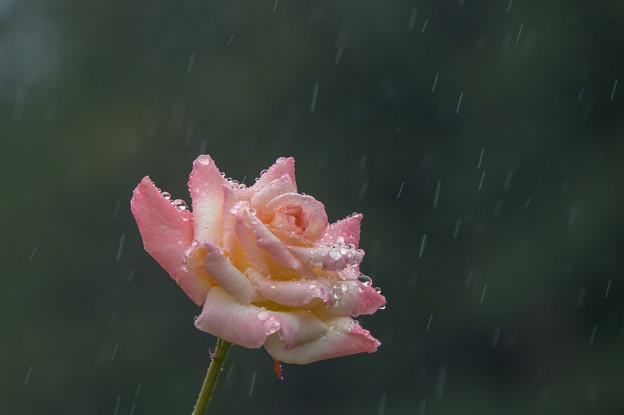 【横浜こども植物園(薔薇:ダイアナ・プリンセス・オブ・ウェールズ)】