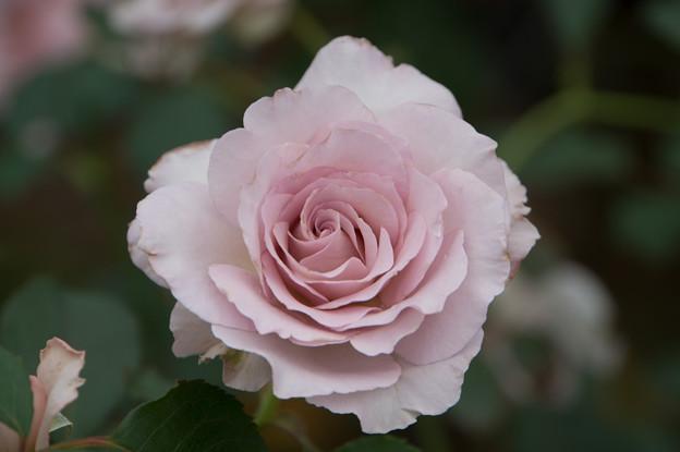 【花菜ガーデン(薔薇:ニュー・ウェーブ)】2