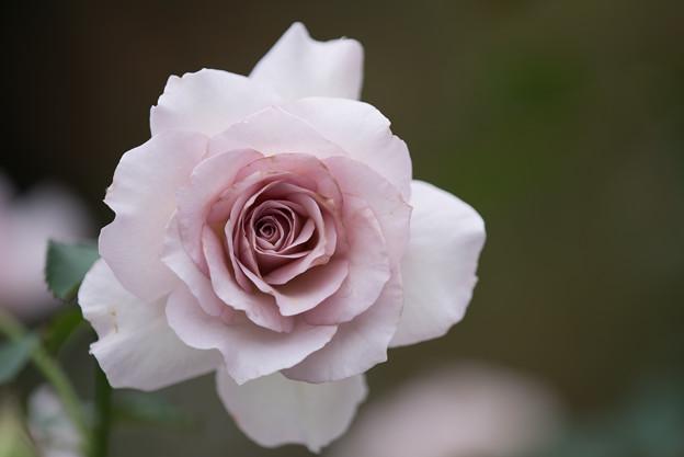 【花菜ガーデン(薔薇:ニュー・ウェーブ)】3