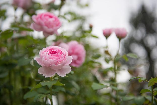 【花菜ガーデン(薔薇:ワイフ・オブ・バス)】1