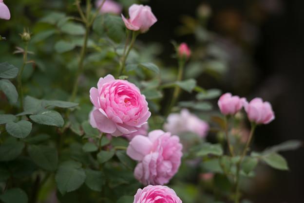 【花菜ガーデン(薔薇:ワイフ・オブ・バス)】2