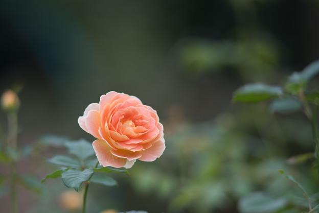 【花菜ガーデン(薔薇:モリニュー)】3