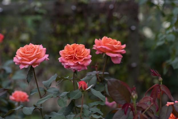 【花菜ガーデン(薔薇:アルブレヒト・デューラー・ローゼ)】1