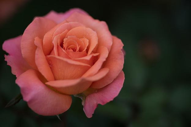 【花菜ガーデン(薔薇:アルブレヒト・デューラー・ローゼ)】3