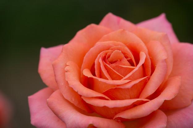 【花菜ガーデン(薔薇:アルブレヒト・デューラー・ローゼ)】4
