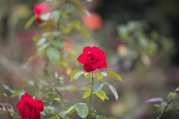 【花菜ガーデン(薔薇:ダブリン・ベイ)】2
