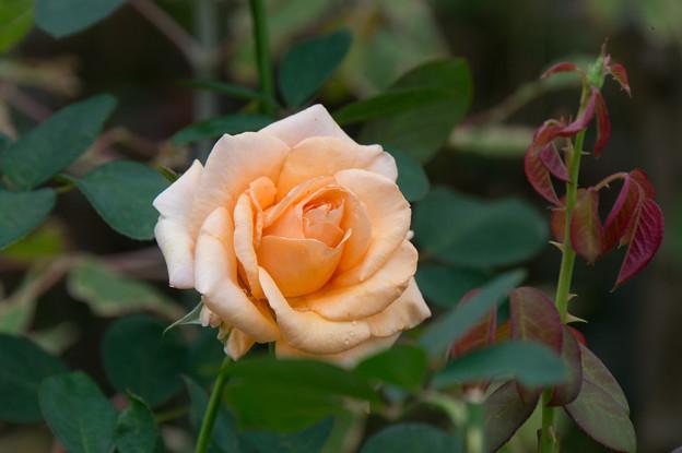 【花菜ガーデン(薔薇:ウォーム・ウィッシェズ)】