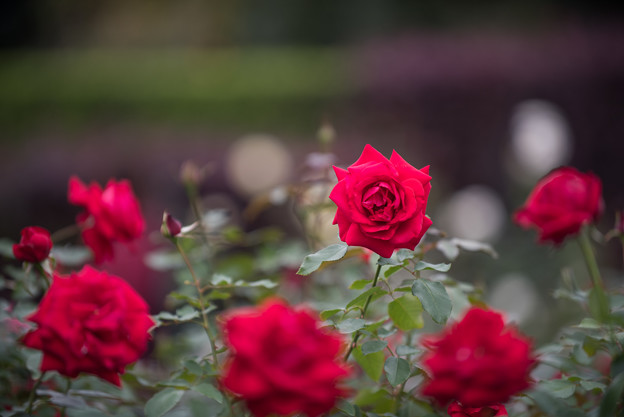 【花菜ガーデン(薔薇:ラ・マルセイエーズ)】1