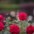 Photos: 【花菜ガーデン(薔薇:ラ・マルセイエーズ)】1