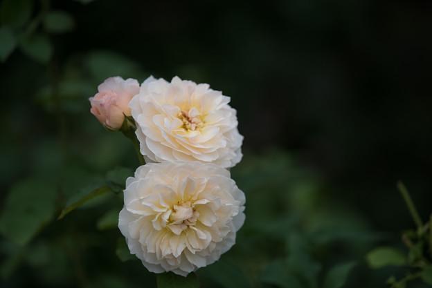 【花菜ガーデン(薔薇:メアリー・マグダリン)】