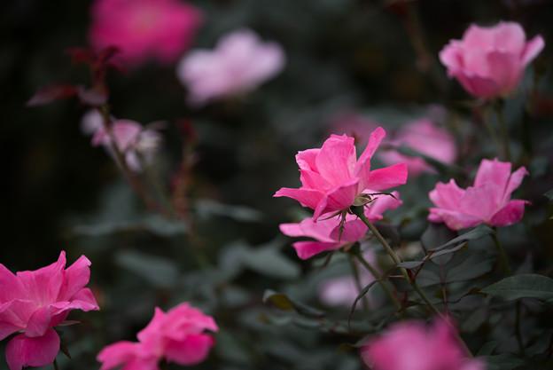 【花菜ガーデン(薔薇:ブラッシング・ノック・アウト)】1