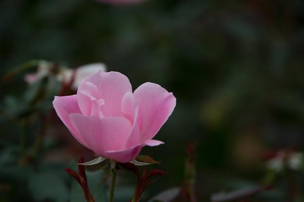【花菜ガーデン(薔薇:ブラッシング・ノック・アウト)】2