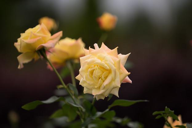 【花菜ガーデン(薔薇:トロピカル・シャーベット)】2