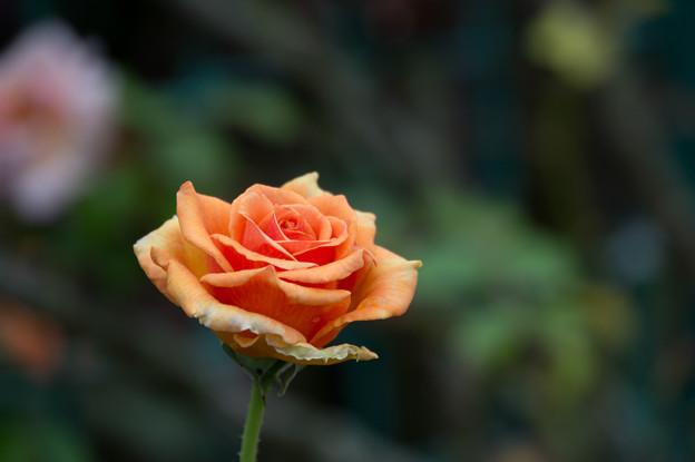 【花菜ガーデン(薔薇:アシュラム)】