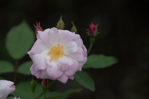 【花菜ガーデン(薔薇:シャンプニーズ・ピンク・クラスター)】