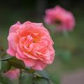 【花菜ガーデン(薔薇:タイフーン)】2