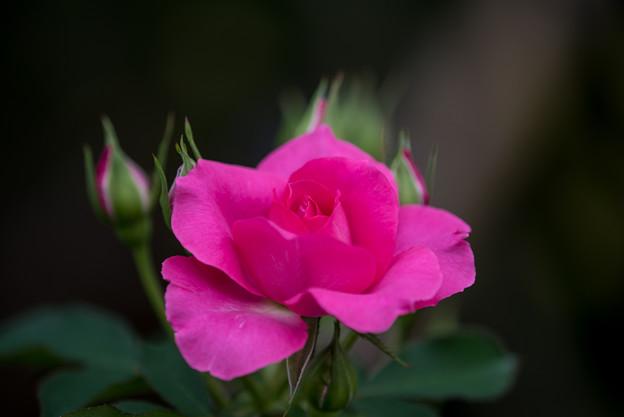 【花菜ガーデン(薔薇:うらら)】