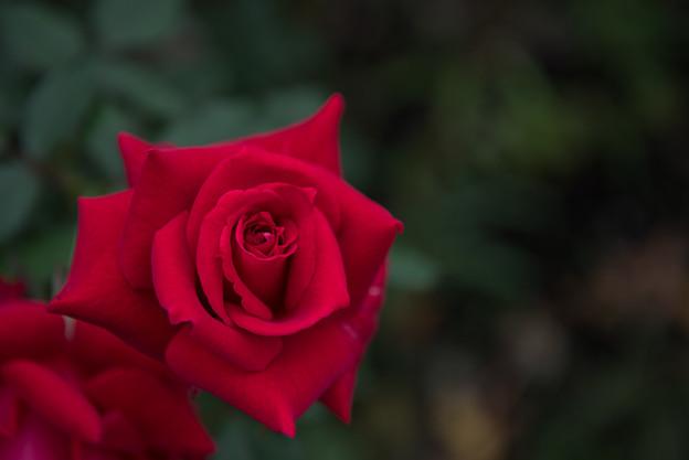 【花菜ガーデン(薔薇:マイレイコ)】