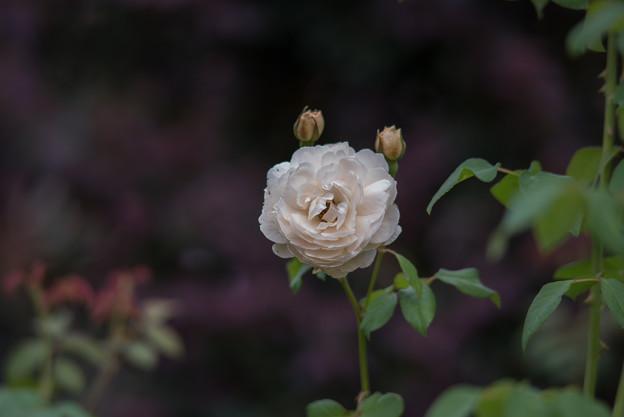 【花菜ガーデン(薔薇:ウィンダミア)】2