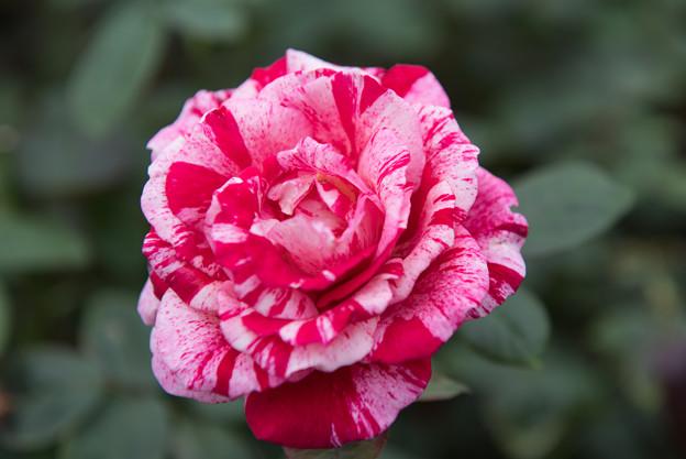 【花菜ガーデン(薔薇:センチメンタル)】