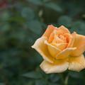 Photos: 【花菜ガーデン(薔薇:金閣)】