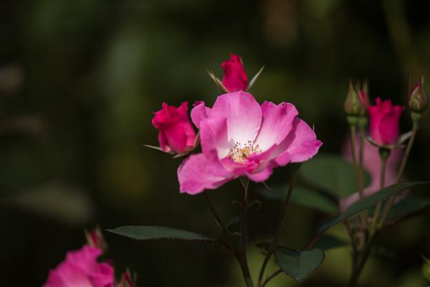 【京成バラ園(薔薇:さらさ)】3