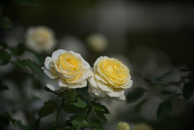 【京成バラ園(薔薇:快挙)】1
