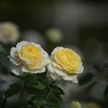 Photos: 【京成バラ園(薔薇:快挙)】1
