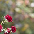 Photos: 【京成バラ園(薔薇:黒蝶)】