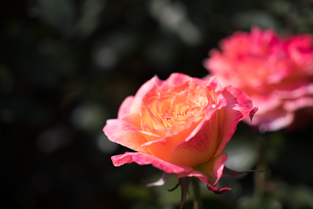 【京成バラ園(薔薇:ピュア・ポエトリー)】2