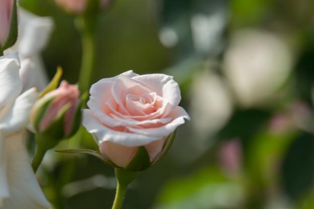 【京成バラ園(薔薇:ストロベリ-・ダイキリ)】