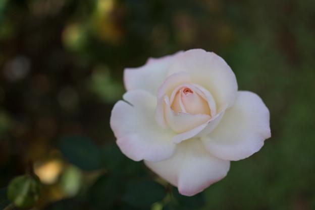 【京成バラ園(薔薇:キャロリーヌ・ドゥ・モナコ)】