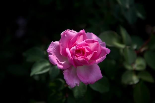 【京成バラ園(薔薇:ビバリー)】