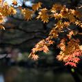 日本庭園の紅葉(3_4)