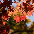 日本庭園の紅葉(4_1)