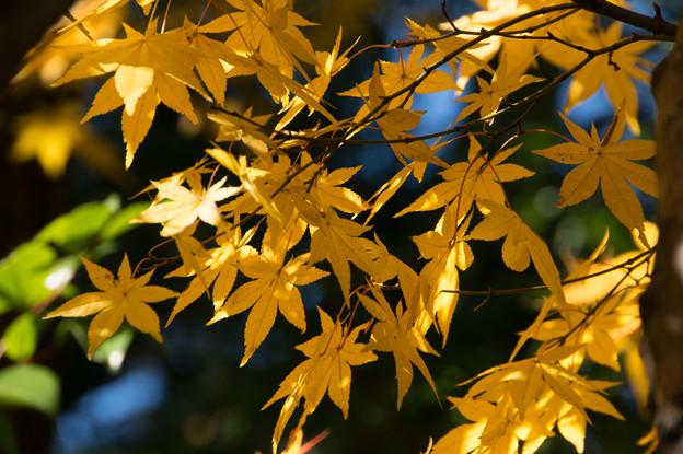 日本庭園の黄葉(5_2)