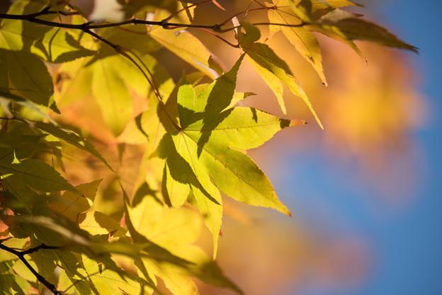 日本庭園の黄葉(5_4)