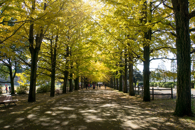 昭和記念公園~かたらいのイチョウ並木(1)