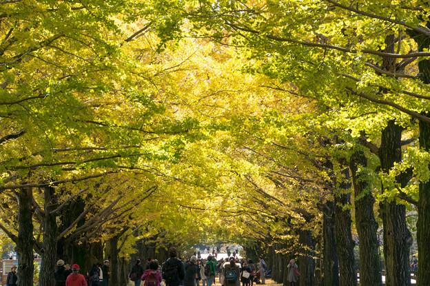 昭和記念公園~かたらいのイチョウ並木(2)